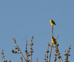 Little Lovebird Duo